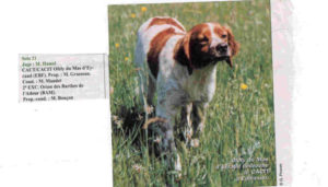 Epagneul Breton Chien femelle Ofely